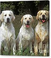 Golden Retrievers Canvas Print