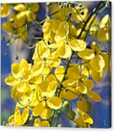 Golden Shower Tree - Cassia Fistula - Kula Maui Hawaii Canvas Print