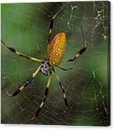 Golden Silk Spider 10 Canvas Print