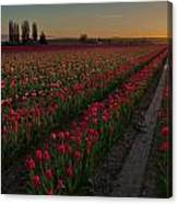 Golden Skagit Tulip Fields Canvas Print