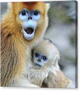Golden Snub-nosed Monkey And Young China Canvas Print