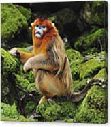 Golden Snub-nosed Monkey Male China Canvas Print