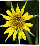 Golden Star Flower Yellow Salsify Glacier National Park Canvas Print