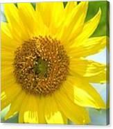 Golden Sunflower - 2013 Canvas Print