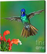 Golden-tailed Sapphire At Flower Canvas Print
