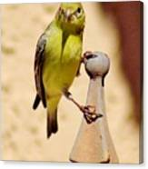 Goldfinch Hanging On 031015ac Canvas Print
