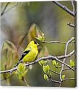 Goldfinch In Spring Canvas Print