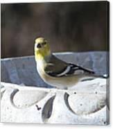 Goldfinch On Bird Bath Canvas Print
