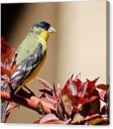 Goldfinch On Branch 031015aab Canvas Print