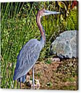 Goliath Heron By Water Canvas Print