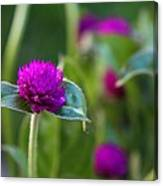 Gomphrena Flowers Canvas Print
