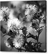 Gone To Seed Wild Aster Canvas Print