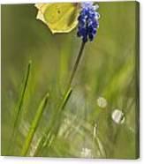 Gonepteryx Rhamni On The Blue Flower Canvas Print