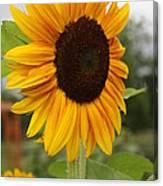 Good Morning Sunshine - Sunflower Canvas Print