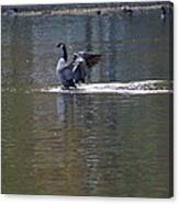 Goose Cleaning Canvas Print