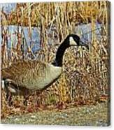 Goose On The Edge Canvas Print