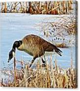 Goose Walking Canvas Print