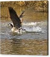 Goose Water Landing Canvas Print