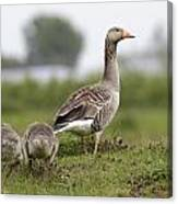 Goose With Chicks Canvas Print