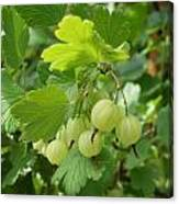 Gooseberries Canvas Print