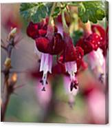 Gooseberry Flowers Canvas Print