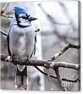 Gorgeous Blue Jay Canvas Print