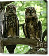 Gorgeous Great Horned Owls Canvas Print