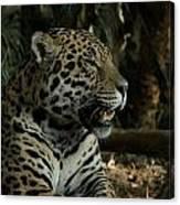 Gorgeous Jaguar Canvas Print