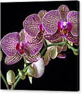 Gorgeous Orchids Canvas Print