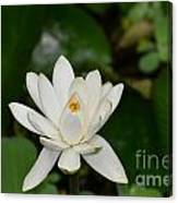 Gorgeous White Lotus Flower Blossom Canvas Print