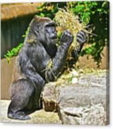 Gorilla Eats Canvas Print