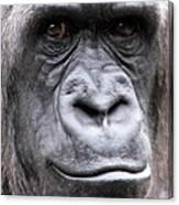 Gorilla - Jackie Canvas Print