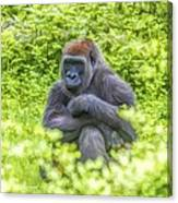 Gorilla Resting Canvas Print