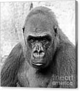 Gorilla White Background Canvas Print