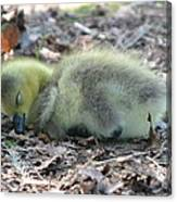 Gosling Napping  Canvas Print