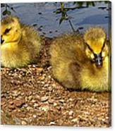 Goslings 001 Canvas Print