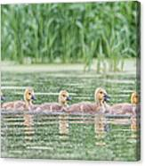 Goslings All In A Row Canvas Print