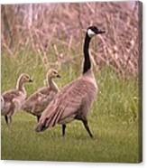 Goslings On A Walk Canvas Print