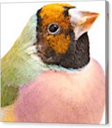 Gouldian Finch Erythrura Gouldiae Canvas Print