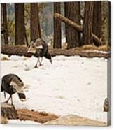 Gould's Wild Turkey Canvas Print