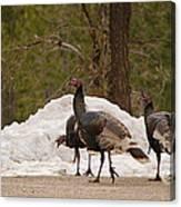 Gould's Wild Turkey Iv Canvas Print