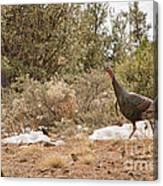 Gould's Wild Turkey Vii Canvas Print