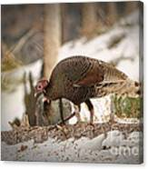 Gould's Wild Turkey Vix Canvas Print