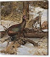 Gould's Wild Turkey Xiii Canvas Print