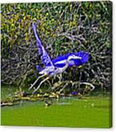 Gr8 Heron Flight Canvas Print