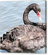Graceful Black Swan Canvas Print