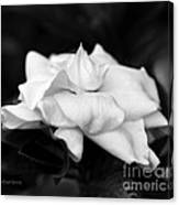 Graceful Soft And Sweet Canvas Print