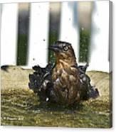 Grackle In The Bird Bath 1 Canvas Print