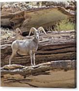 Grand Canyon Big Horn Sheep Canvas Print