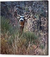 Grand Canyon Deer Canvas Print
